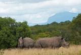 White Rhinoceros PSLR-8534.jpg