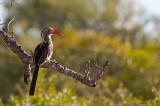 Red-billed Hornbill PSLR-8568.jpg
