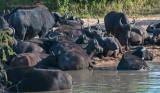African Buffalo PSLR-8579.jpg