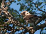 Southern White-crowned Shrike (juv) PSLR-8582.jpg