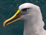 Thalassarche Bulleri - Buller's Albatross - Bullers Albatros