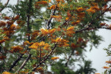 Nepali-Flower-Tree