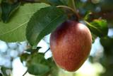 Apple of the temptation