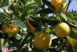 Oranges in Cavtat