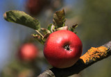 apple rouge