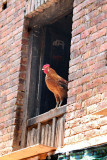 The rooster is controlling the neighbour window