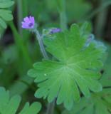 Cut-leaved Geranium