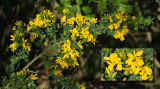 Common Broom with Inset