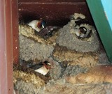 Cliff Swallows in Nests