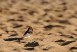Cliff Swallow in the Dunes