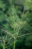 Feathery Weed