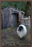 Sheep with Country Shack