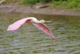 Juvenile Spoonbill Flight