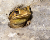 Emerging Toad