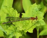Brown Damsel