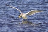 Seagull's Catch