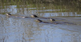 Four River Otters