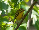 Warblers & Vireos