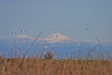 Snow Geese and Snowy Peak (Mt. Lassen)