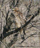 Peek-a-boo-Red-shouldered Hawk