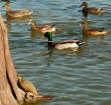 Turtle and Ducks