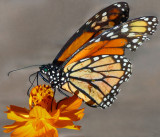 Butterfly on Cosmos Flower
