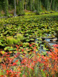 Leaves and Lily Pads