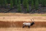Elk Watching Elk