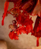 Begonia Icicles