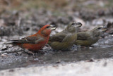 Rare and scarce birds in The Netherlands