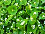 1Miners Lettuce.jpg