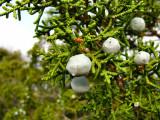 1Juniper Berries.jpg
