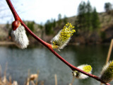1Blooming pussywillow.jpg