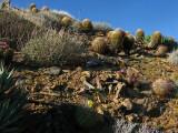 1cacti dotted hillside.jpg