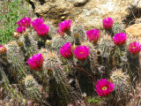 1Hedgehog Cactus.jpg