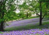 wildflowers - blues