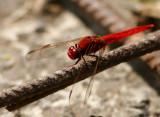 Scarlet Skimmer (Crocothemis servilia)?