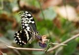 Citrus Swallowtail  (Papilio demodocus)