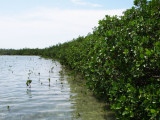 See that little mangrove there? Now, this is hard. 3099.jpg