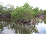 Mangrove 3106.jpg