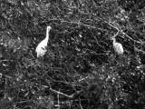 Yearling Egrets 3121.jpg