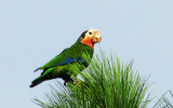 14 Abaco Parrot..a local favorite.jpg