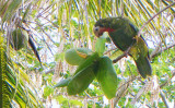 Abaco Parrot 3543.jpg