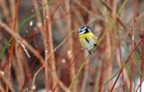 Plava senica (Blue tit, Parus caeruleus)