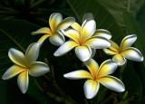 Plumeria Blooms Bermuda