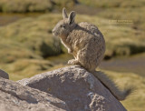 Bergviscacha - Mountain Viscacha - Lagidium viscacia