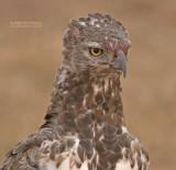 Vecht Arend - Martial Eagle - Polemaetus bellicosus
