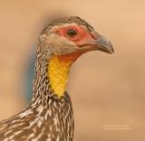 Geelkeelfrankolijn - Yellow-necked Francolin - Francolinus leucoscepus