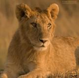 Oost-Afrikaanse Leeuw - Masai Lion - Panthera leo nubica