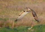 Velduil - Short-eared Owl - Asio flammeus